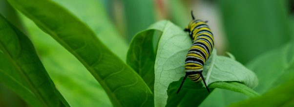 how to get rid of caterpillars naturally