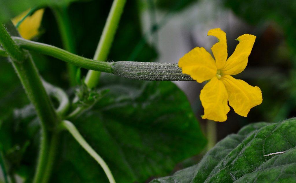bugs that eat cucumber plants